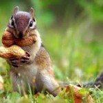 Blog_Squirrels Storing Nuts