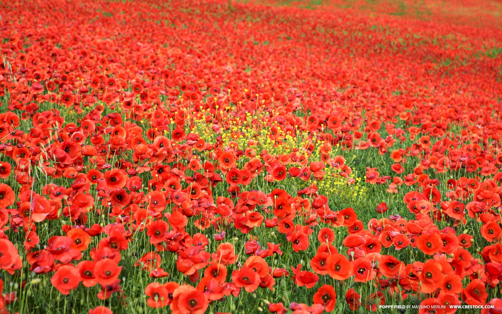 16 significance of poppy flower 75 poppy tattoo designs for